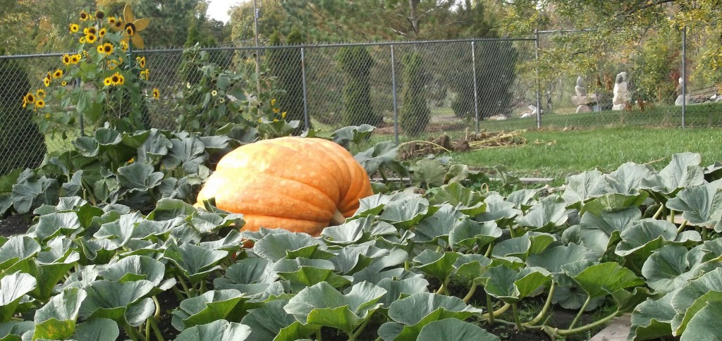 With pumpkin and vines, Daisy blankets 400 square feet of the Cotterman's backyard. PHOTO/MATTHEW E. SEMRAU