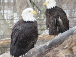Lindy and Flash, two bald eagles in residence at the Detroit Zoo, were born in the wild but suffered injuries to their wings that prevent them from surviving outside captivity. Lindy came to the zoo in 1988 and was joined by Flash in 2009. Their molted feathers are gathered for distribution to Native Americans for use in religious ceremonies. PHOTO/TAYLOR GOODFELLOW